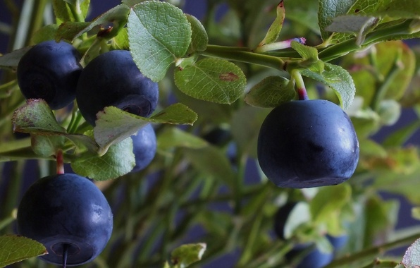 Picture leaves, branches, berries, Bush, blueberries