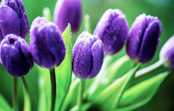 Picture leaves, drops, flowers, purple, tulips, buds, lilac