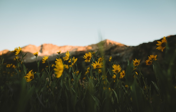 Picture mountains, background, focus, yellow flowers
