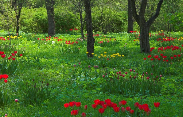 Picture trees, nature, trunks, spring, garden, Tulips