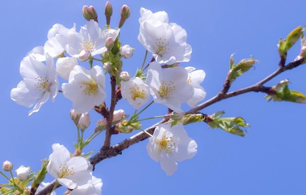 Picture the sky, flowers, cherry, ease, blue, tenderness, branch, spring, petals, Sakura, white, flowering, white