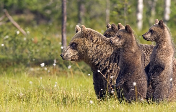 Photo wallpaper forest, animals, grass, trees, nature, bears, animals