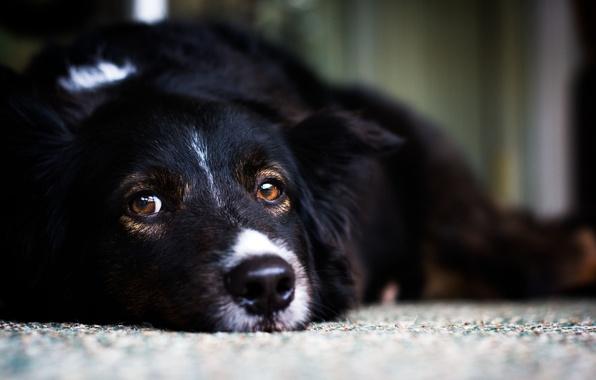 Picture white, look, black, dog, dog, lies, white, black, looks, dog