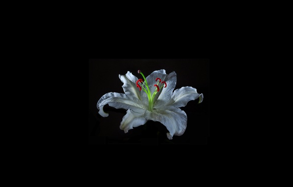 Picture light, background, Lily, shadow, petals, stamens