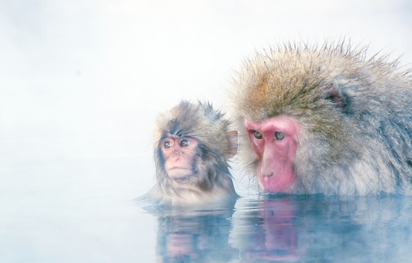 Picture background, monkey, cub, Japanese macaques, snow