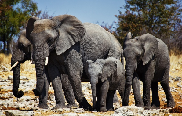 Picture nature, Africa, elephants