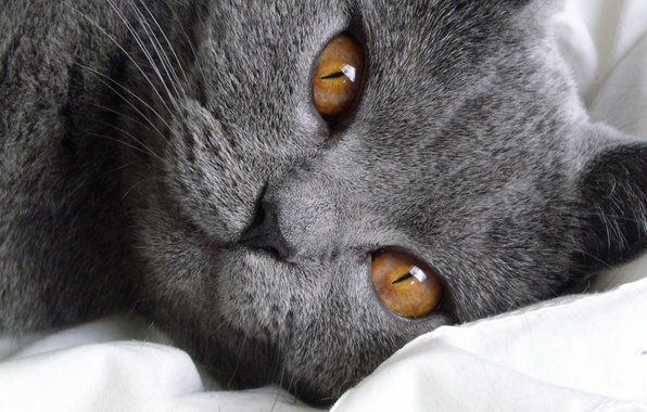 Picture look, animal, breed, British, Shorthair