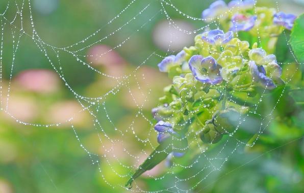 Picture drops, macro, flowers, Rosa, web, hydrangea