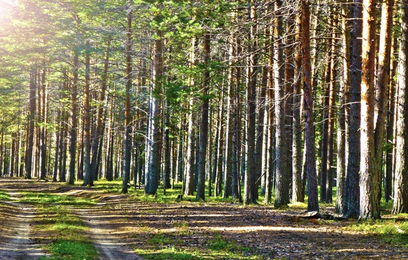 Picture road, forest, the sun, Summer, beautiful, pine