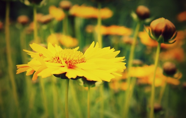 Picture macro, flowers, yellow, green, background, widescreen, Wallpaper, blur, wallpaper, flowers, widescreen, background, full screen, HD …