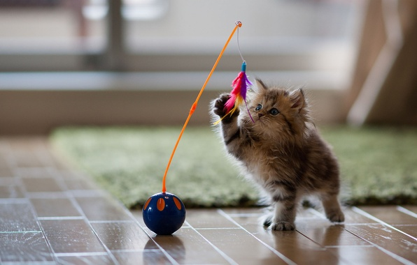 Picture cat, kitty, toy, the game, feathers, Daisy, Ben Torode