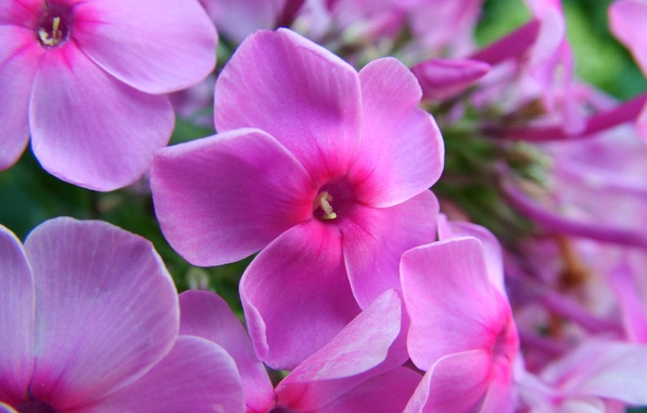 Picture summer, macro, flowers, pink, bright, Phlox