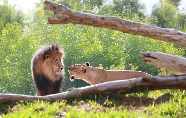 Picture face, predators, Leo, family, pair, mane, wild cats, lions, lioness, roar, fight