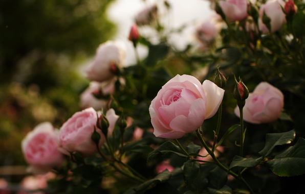 Picture leaves, flowers, nature, glare, Bush, roses, petals, pink, buds