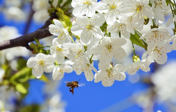 Picture macro, nature, cherry, bee, branch, spring, insect, flowering, flowers