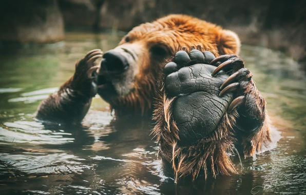 Picture paw, bear, bathing, brown