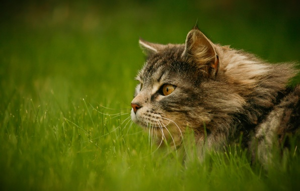 Picture greens, grass, cat, look, grey, fluffy, attention