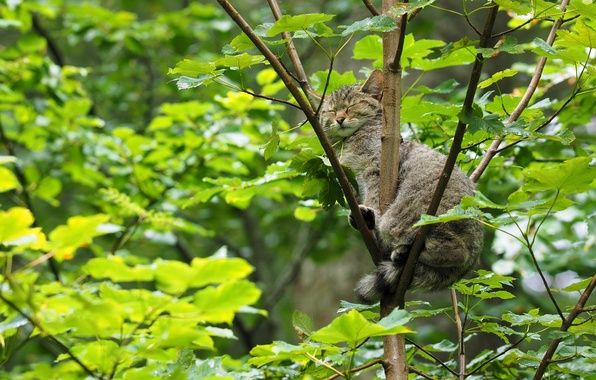 Picture tree, sleep, wild cat, on the tree, sleeping, forest cat