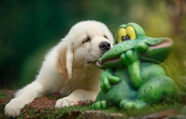 Picture puppy, toad, Retriever