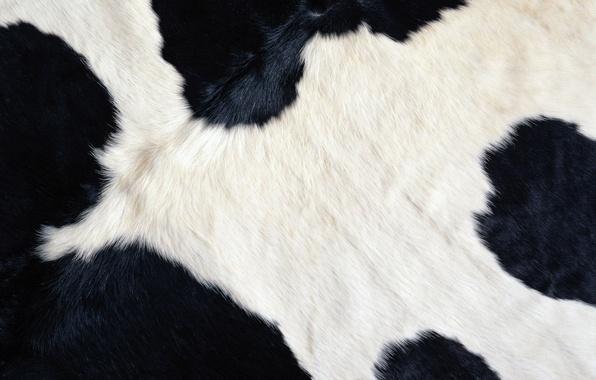 Picture white, black, cow, wool, texture, Bessie