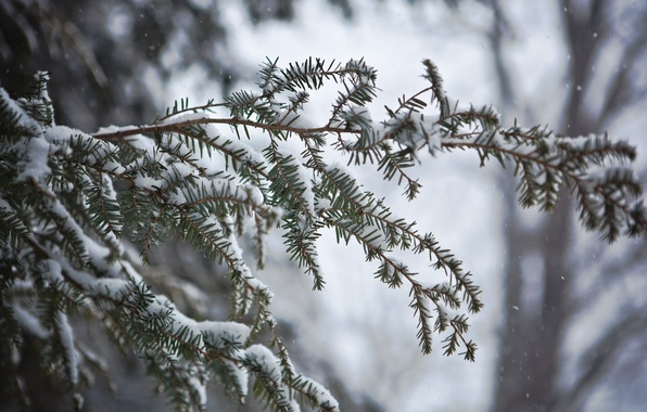 Picture winter, macro, snow, needles, branch, needles