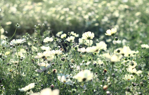 Picture field, summer, grass, rays, light, flowers, nature, heat, stems, glade, beauty, plants, petals, light, white, …