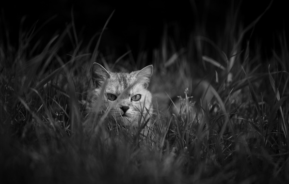 Photo wallpaper look, Koshak, grass, Tomcat, cat