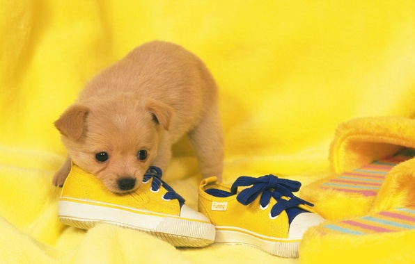Picture shoes, dog, puppy, puppy, dog, shoes