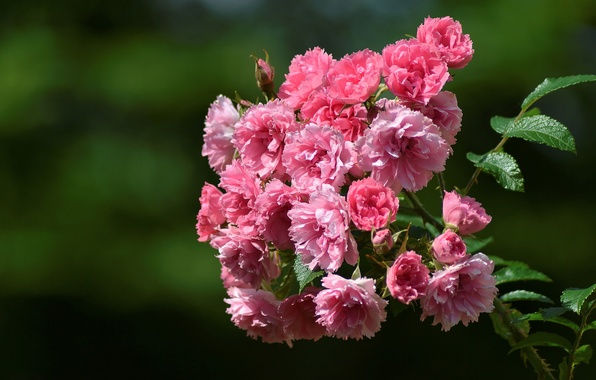 Picture macro, background, branch, briar, flowers, Briar wrinkled