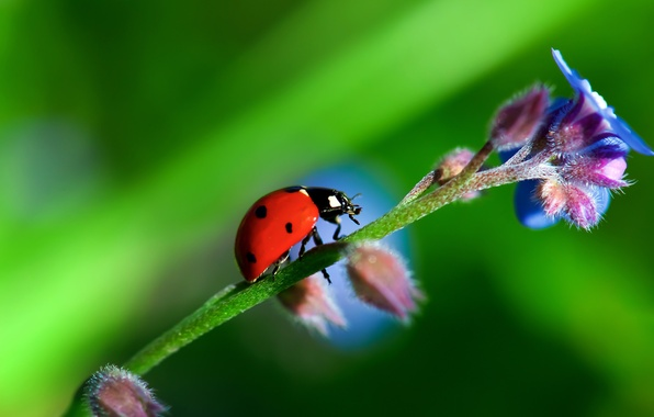 Picture flower, nature, plant, ladybug, beetle, stem, insect