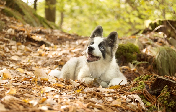 Picture autumn, leaves, dog, puppy, The Yakutian Laika
