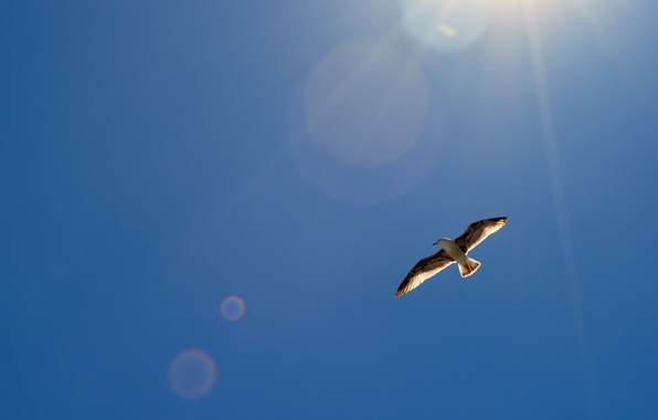 Picture the sky, the sun, glare, bird, wings, Seagull, in the air, soars