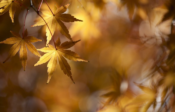 Picture autumn, branches, foliage, maple, gold