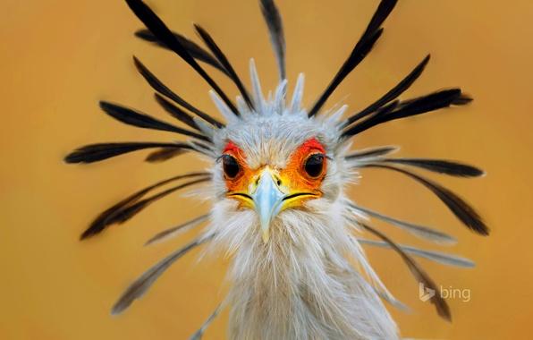 Picture eyes, bird, feathers, beak, Secretary, South Africa