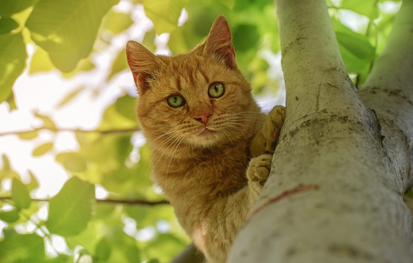 Photo wallpaper cat, look, tree, on the tree, red cat