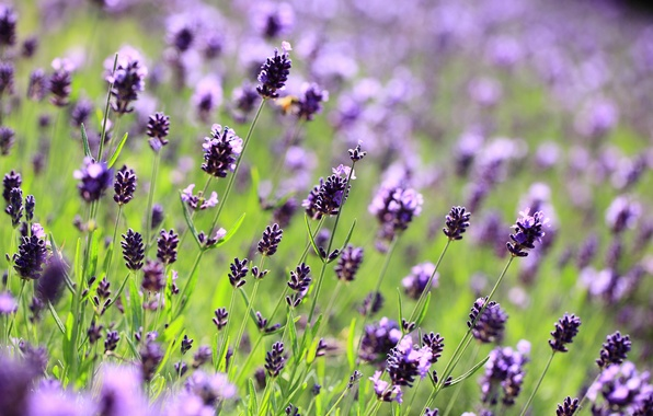 Picture field, macro, flowers, glade, blur, purple, lavender, lilac, Lavender
