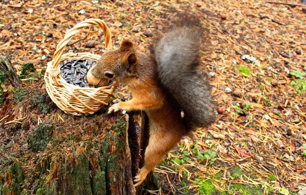 Picture autumn, animals, nature, basket, stump, walnut, protein, needles, seeds, rodent