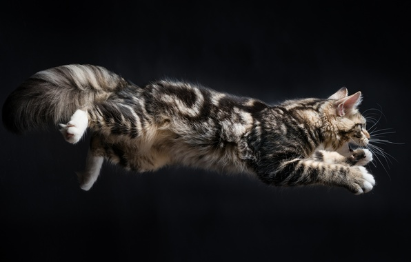 Picture cat, background, jump, Kote