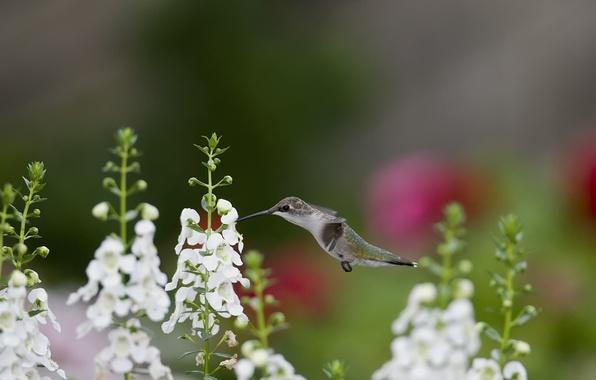 Picture flowers, nectar, bird, Hummingbird, white, snapdragons