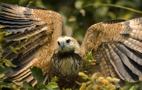 Picture Leaves, Wings, Falcon