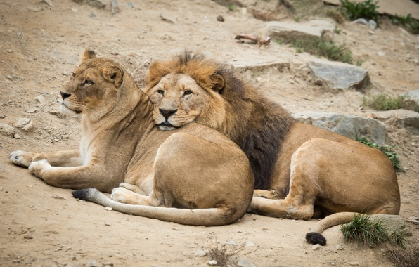 Picture cats, stay, Leo, pair, lions, lioness