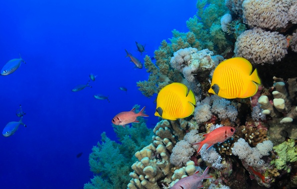 Picture sea, fish, corals
