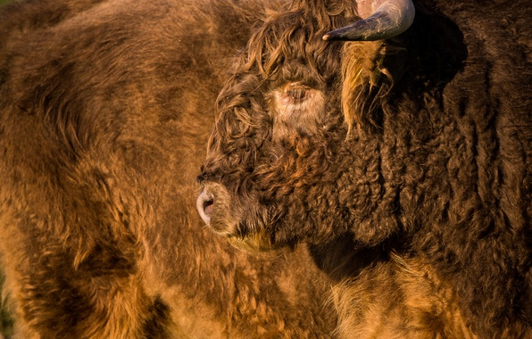 Picture face, power, fur, Buffalo