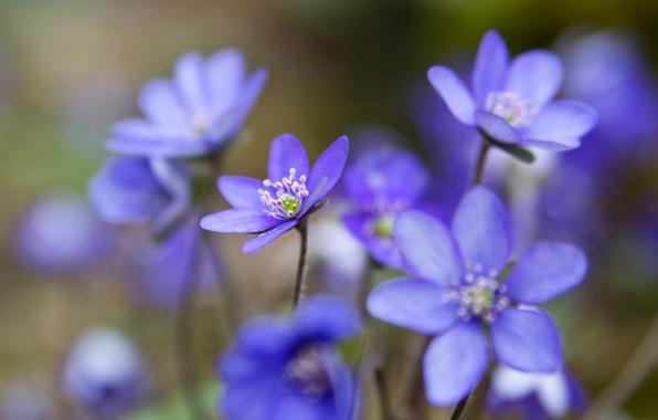 Picture macro, petals, blur, blue, woods, The coppice