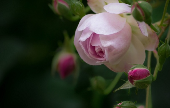 Picture macro, rose, petals, buds