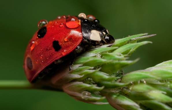 Picture BACKGROUND, WATER, DROPS, INSECT, LADYBUG, Of GOD, PLANT, STEM