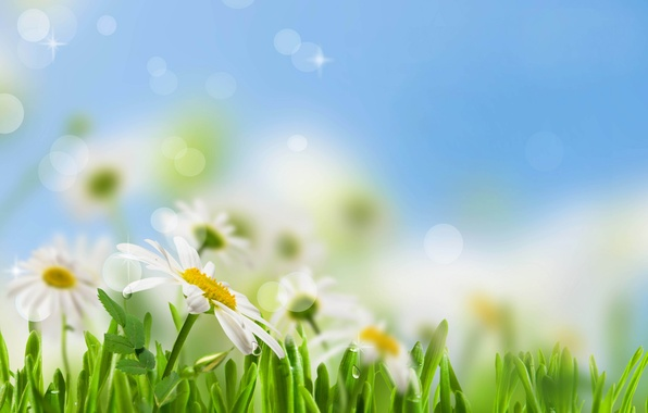Picture the sky, grass, leaves, drops, flowers, freshness, Rosa, green, chamomile, beauty, spring, blur, white, grass, …