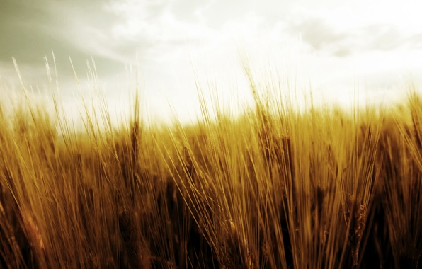 Picture wheat, field, the sky, nature, harvest, spikelets, ears, the harvest