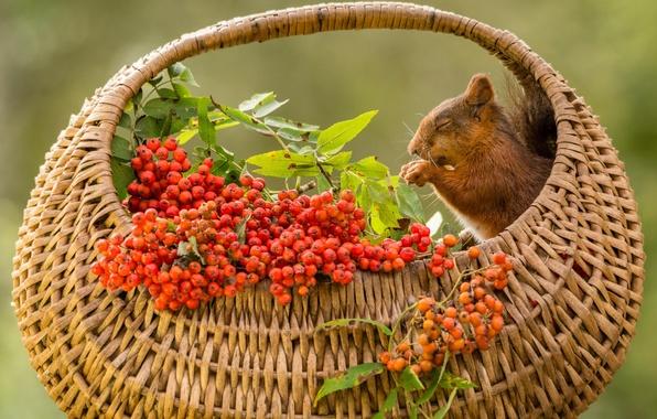 Picture basket, protein, Rowan