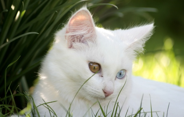 Picture cat, kitty, white, different eyes